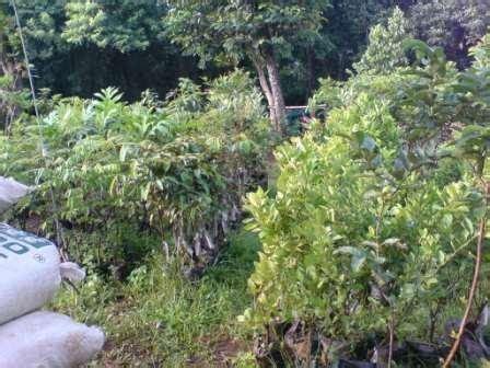 Harga Bibit Jeruk Nipis Lokal daftar harga bibit tanaman tunas nursery