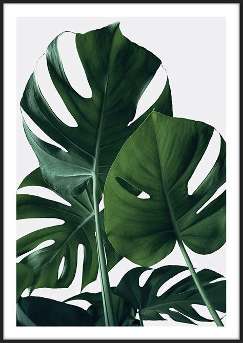 Poster Monstera monstera poster botanik insplendor