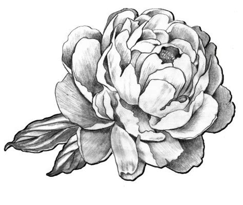 peonie tattoo best 25 peony drawing ideas on peony peony
