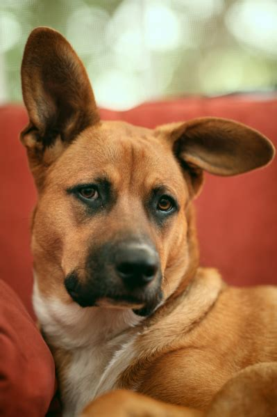 dogs with big ears how to keep pets healthy during winter pets for patriots