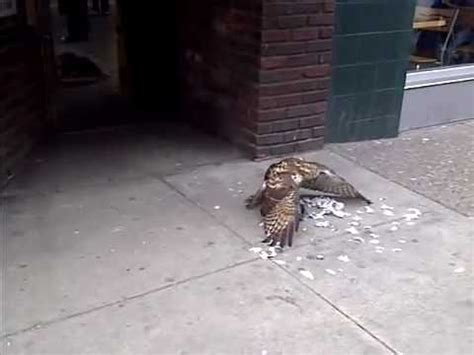 aggressive redtail hawk eats pigeon alive in front of