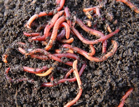 Worm Composting Taking Advantage Of Earthworm Benefits Worms In Vegetable Garden