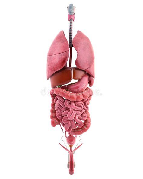 corpo umano organi interni milza organi interni corpo maschio illustrazione di stock