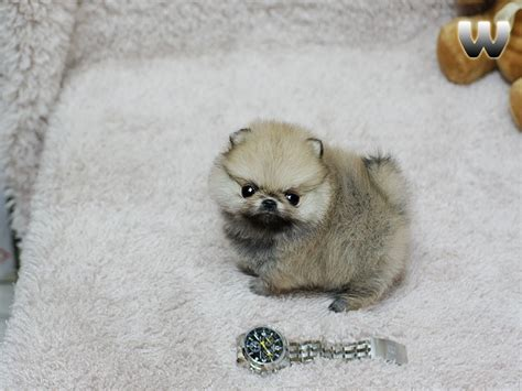 teacup wolf pomeranian micro teacup wolf pom pom random stuff i