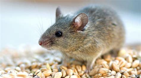 huis muis muizen in huis bestrijden hoe vang verjaag je