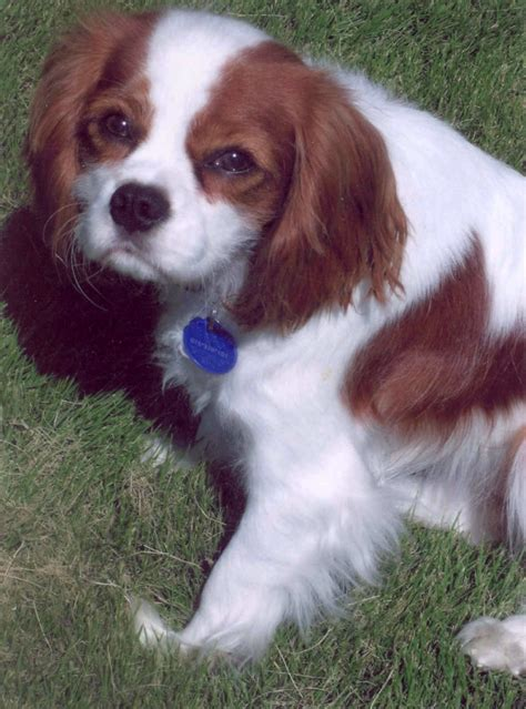 brown breeds brown and white breeds