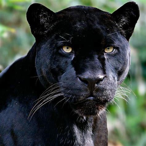 imagenes impresionantes animales salvajes animales salvajes 2 panteras pinterest animales