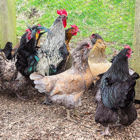 the pros and cons of backyard chickens popsugar home