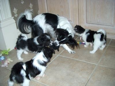 havanese pomeranian mix 17 best images about dogs galore on poodles entlebucher mountain and