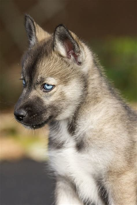 agouti husky puppy who knows an agouti husky breeder for me sayings and things beautiful