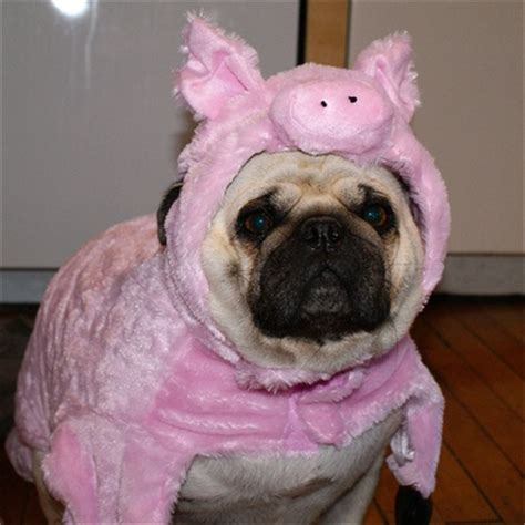 why does my pug the air 8 best images about pug or pig on dogs