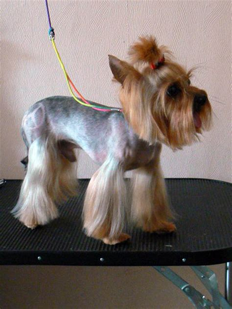 yorkie cut explore yorkie haircuts pictures and select the best style for your pet