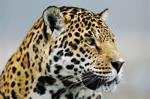 Jaguar National Geographic Jaguar Photo By Goran Anastasovski National Geographic