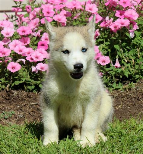 husky puppies for sale in louisiana beautiful akc siberian husky puppies for sale in louisiana breeds picture