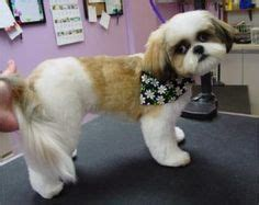 shih tzu grooming needs shih tzu grooms on 21 pins