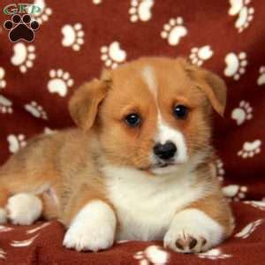 corgi puppies pa pembroke corgi puppies for sale in pa