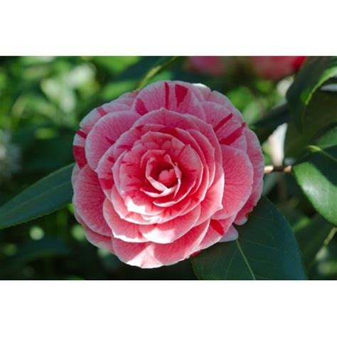 top 28 are camellia flowers edible 17 best images