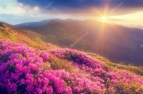 fiori di rododendro fiori di rododendro in montagna foto stock 169 kotenko