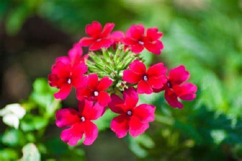 verbena fiore significato dei fiori la verbena pollicegreen