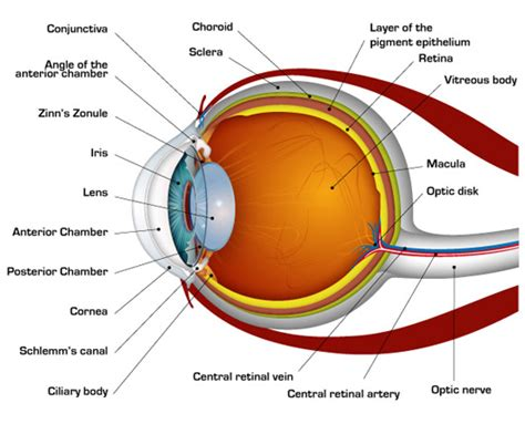 schematic section of the human eye diagrams related to structure working of human eye
