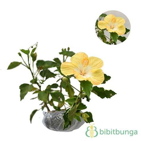Tanaman Hisbiscus tanaman hibiscus yellow banana bibitbunga