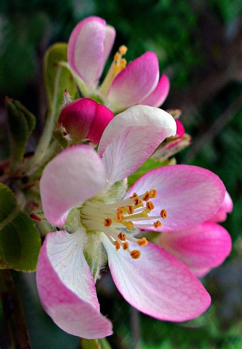 apple blossoms petals pinterest