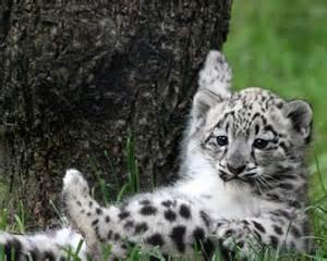 Snow leopard cub by snow leopard trust