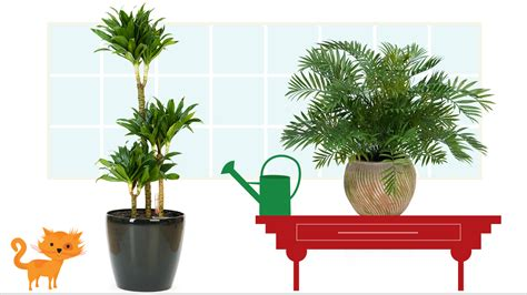 awesome home and then large plants tall houseplants to large indoor plants plants first choice colour 100