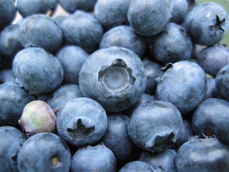 file bunch of blueberries one unripe jpg wikipedia