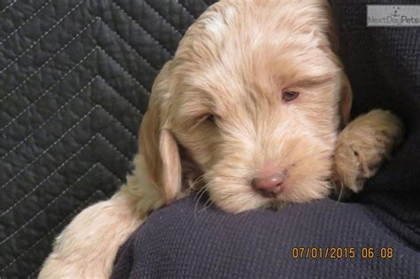 goldendoodle puppy for sale los angeles 1000 ideas about f1b goldendoodle on
