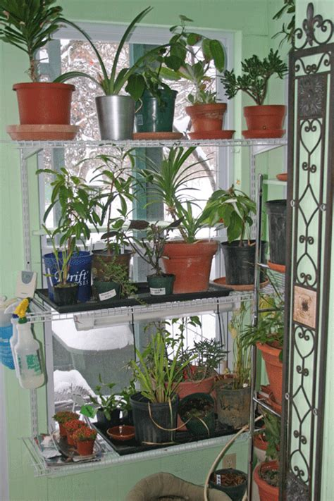 north window plants window plants jim long s garden curry tree kaffir lime