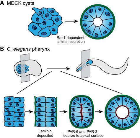 active role  basement membrane assembly
