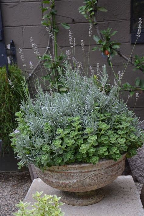 lavender container garden 114 best trees in pots images on