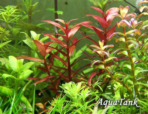Aquarium by Rotala Magenta Aquarium Plant Aquatank Rare Aquarium Plants