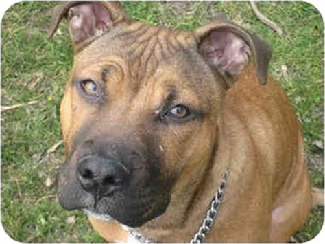 bulldog puppies peoria il adopted puppy peoria il american staffordshire terrier rhodesian ridgeback mix