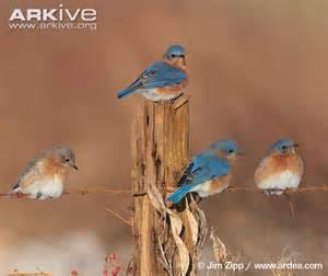 eastern bluebird habitat video search engine at search com