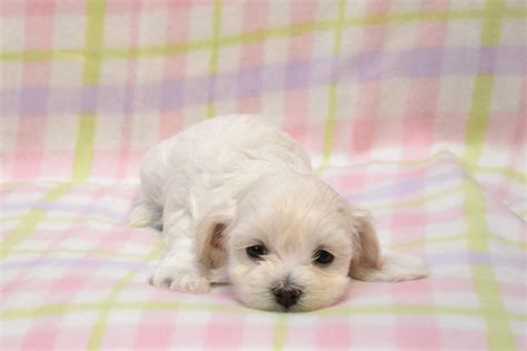 things to get for a new puppy get ready things to about your new puppy legin s havanese