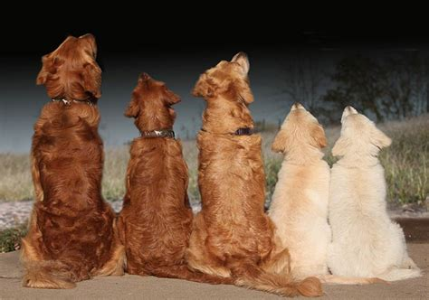 golden retriever color variations why we all golden retrievers couture country