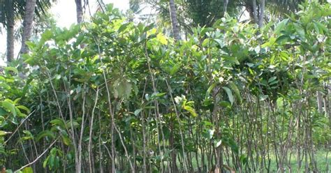 Jual Bibit Bunga Matahari Denpasar bibit rambutan jual bibit rambutan di denpasar