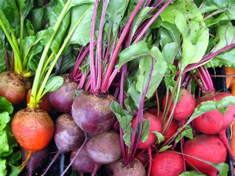 are beets a root vegetable eat live grow paleo the health benefits of beets and how