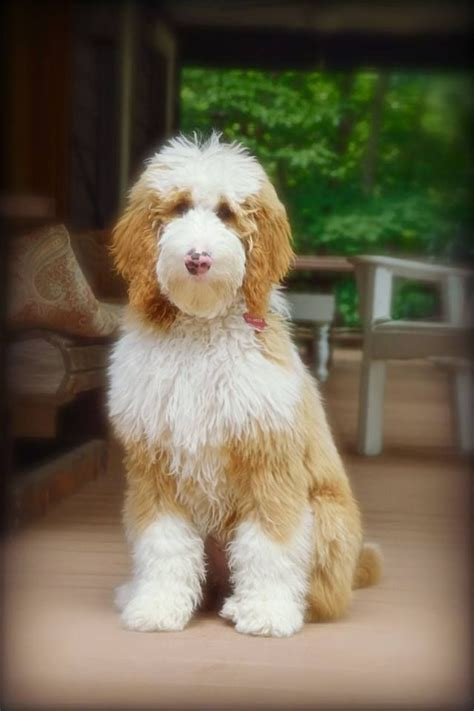 average lifespan of a goldendoodle 51 best images about goldendoodles like reilly on