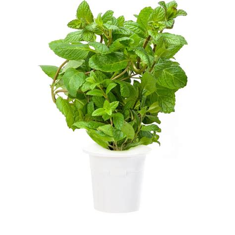 herb garden plants van zyverden grapes thompson seedless plants 3 pack