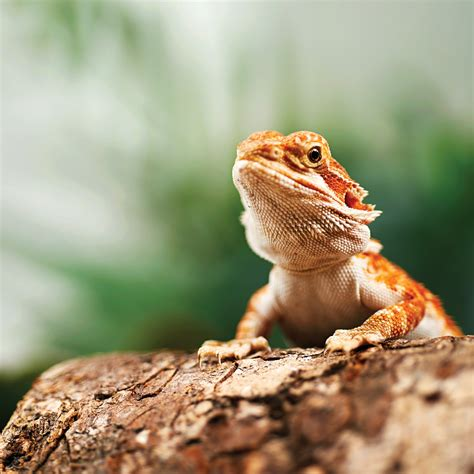 petco prices bearded dragons for sale buy live bearded dragons for sale petco