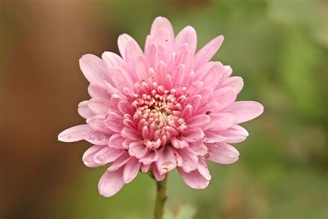 mums flower file chrysanthemum sp jpg