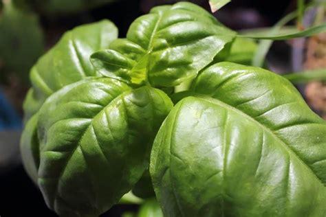 basilico coltivazione in vaso coltivazione basilico ortaggi come coltivare basilico