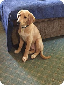 golden retriever rescue in indiana eagle adopted puppy lafayette in golden retriever collie mix