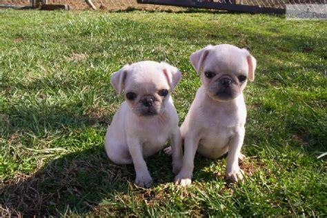 white pug for sale dogs and puppies for sale and adoption oodle marketplace