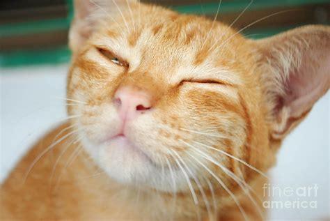 images cats sleeping yellow cat photograph by jeng suntorn niamwhan