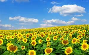 sunflower fields sunflower wallpaper 247763