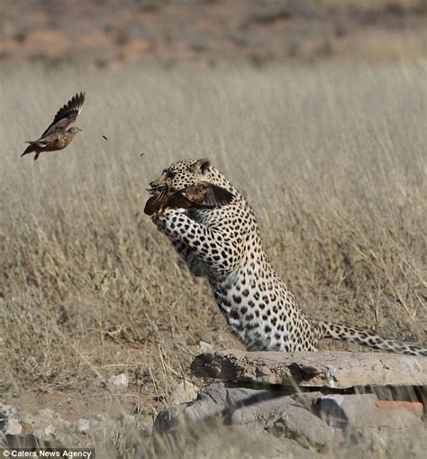 Leopard Bird leopard plucks unfortunate bird out of the sky and gobbles